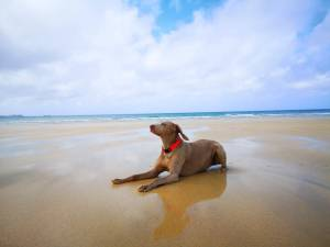 A Weimaraner Dog relaxes on the sandy beach at Gwithian with blue skys and sea